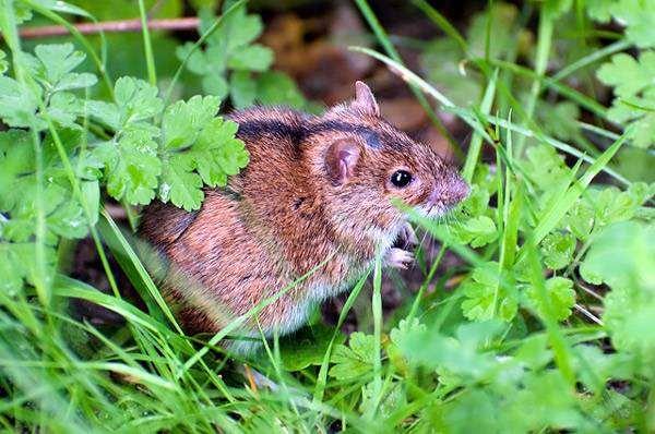Какую опасность для человека представляет лесная мышь?