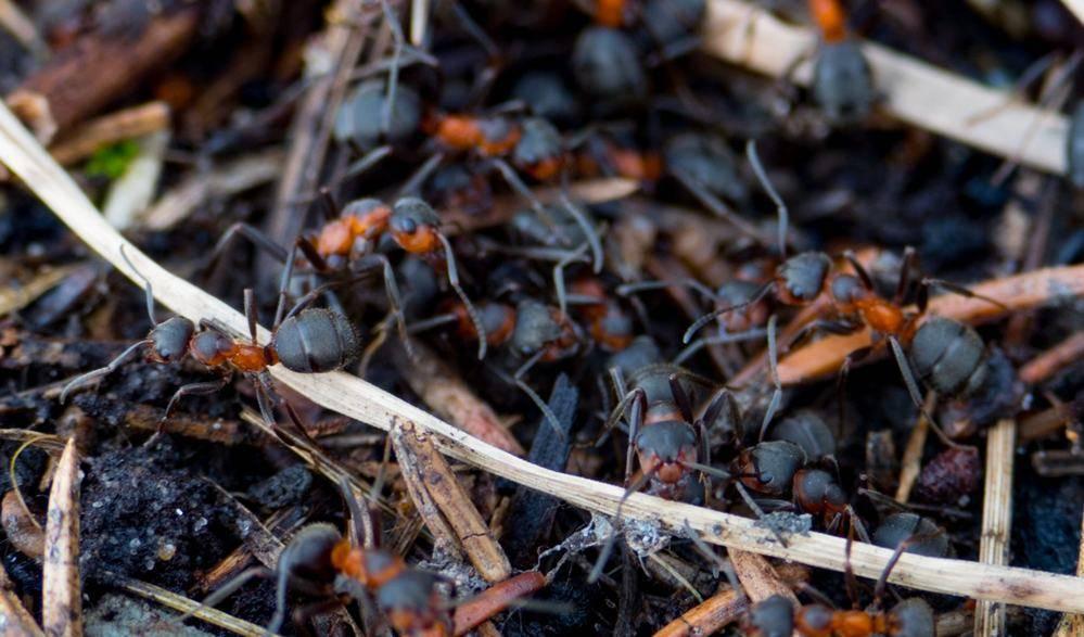 Из чего состоит муравейник. как устроен муравейник: внутреннее строение, жизнь и взаимодействие муравьев