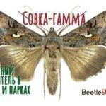 Совка гамма гусеница. совка-гамма: многоядные насекомые-паразиты
