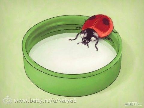 Чем питаются божьи коровки в домашних условиях: рацион питания насекомого