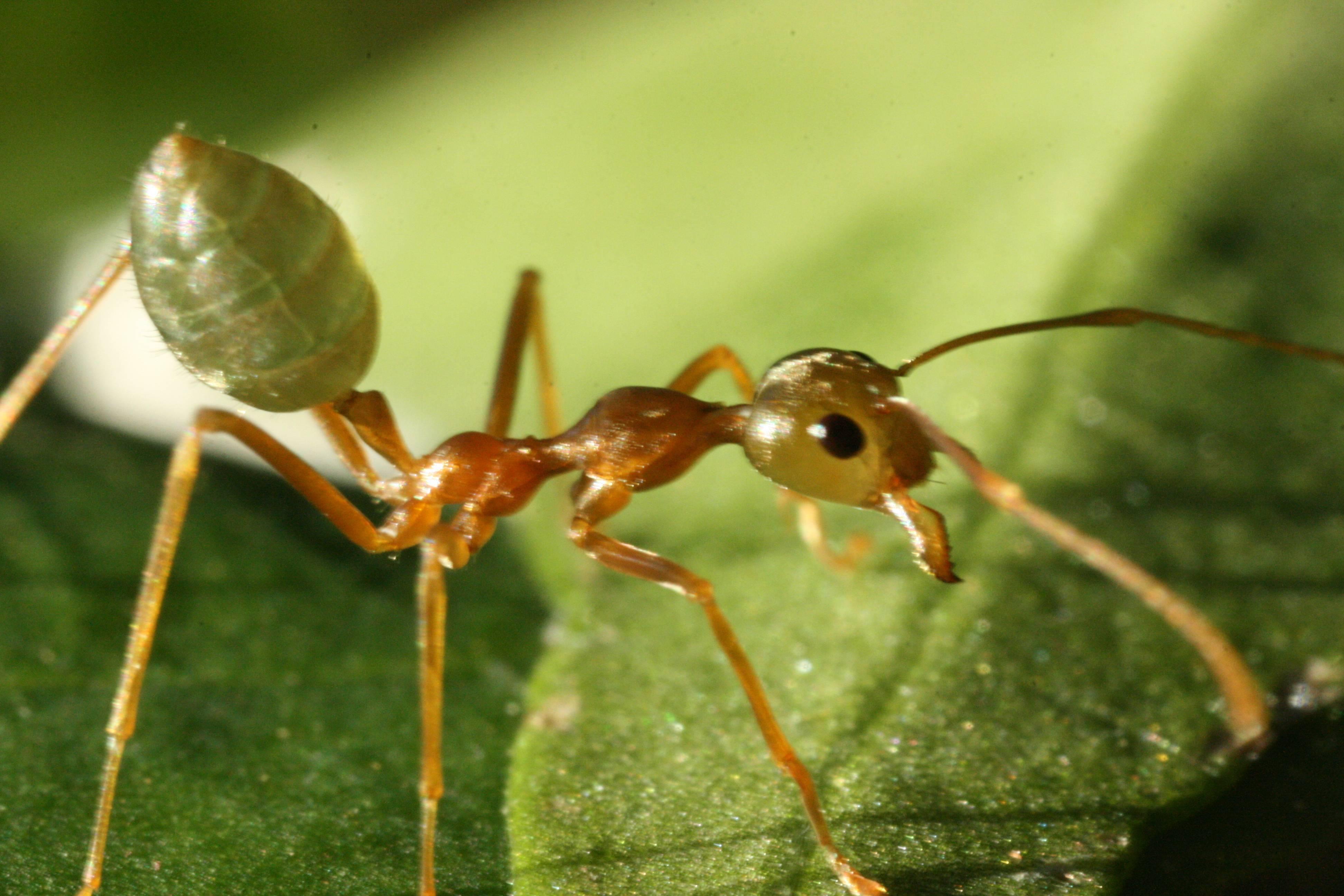 Какие бывают муравьи – описание видов с фото