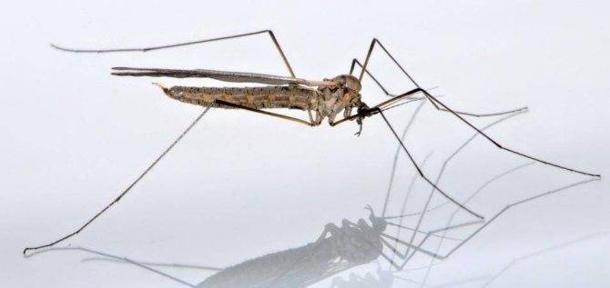 Как размножаются комары: особенности, характерные для летающих кровососов. комар – насекомое-кровопийца когда комары кусают человека