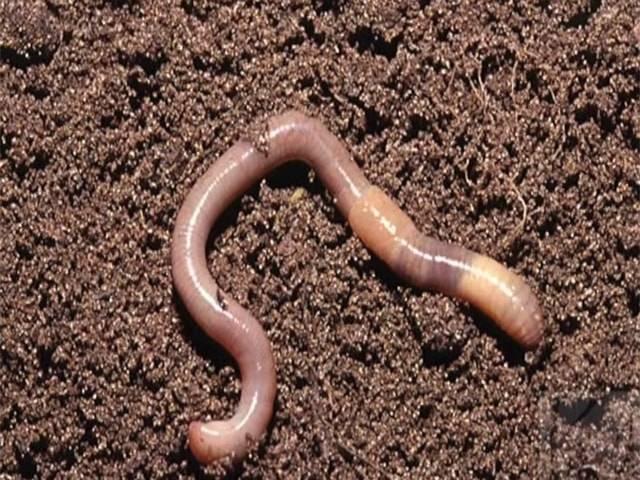 Дождевой червь: описание, роль в природе, разведение