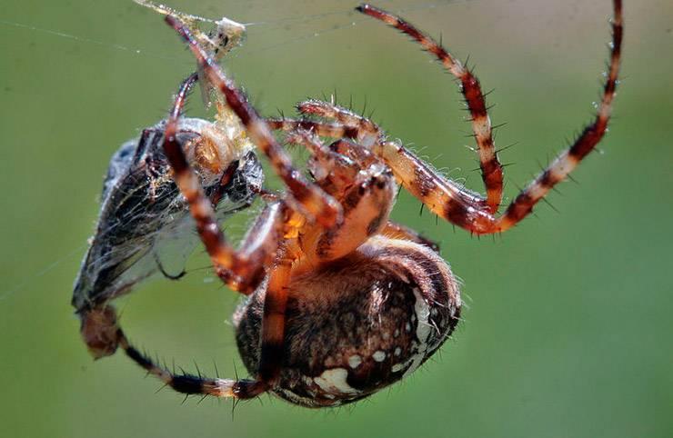 Паук крестовик: общая характеристика, виды крестоносца. как распознать паука-крестовика и насколько он опасен? паук крестовик размножение