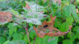 Смородина: болезни и вредители, фото, почему желтеет и сохнет, чем обработать