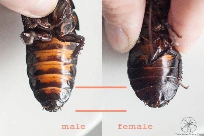 Внешнее и внутреннее строение тараканов