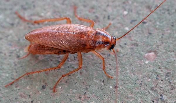 Сколько тараканов появляется на свет за один раз