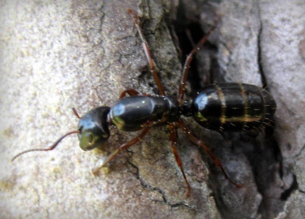 Основные виды муравьев