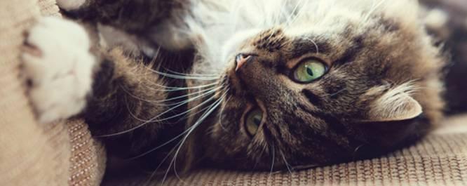 Что делать, если у кота развелись блохи