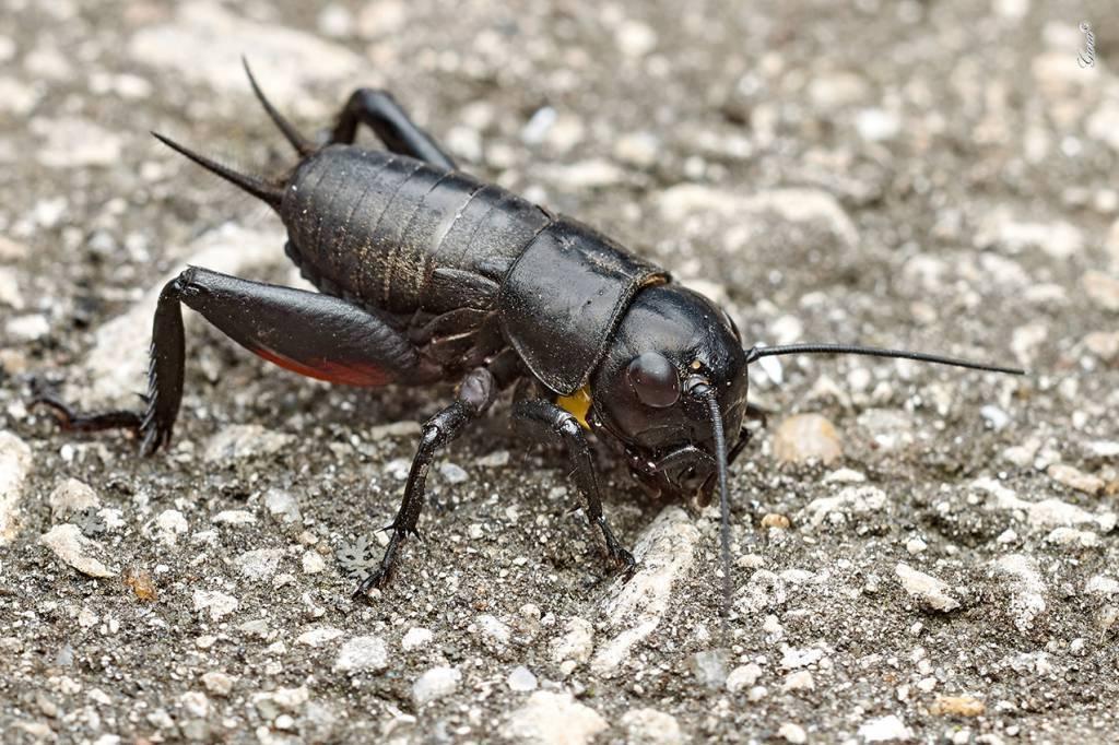 Кто стрекочет в траве. как поют кузнечики, саранча и цикады. мелодичный звук сверчка, или музыкальные способности насекомого