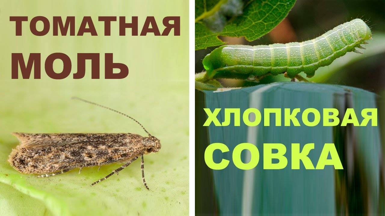 Вредители капусты: фото, описание и лечение