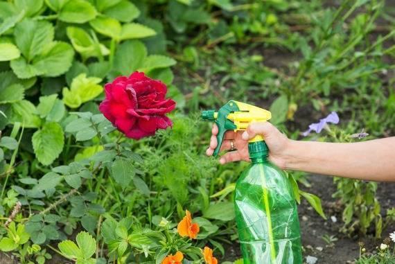 Тля на розах и как с ней бороться