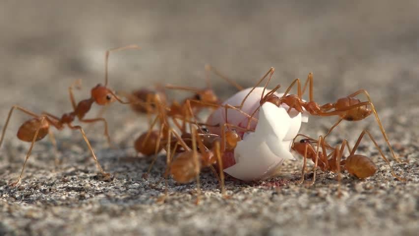 Что едят красные муравьи