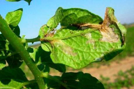 Как бороться с картофельной молью