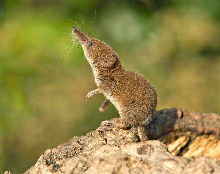 Землеройка: где живет, описание и фото животного. могут ли встречаться на даче и в огороде
