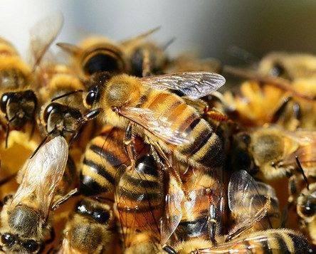 В россии массово гибнут пчёлы. чем это грозит людям