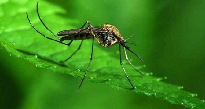 Сколько живёт комар обыкновенный