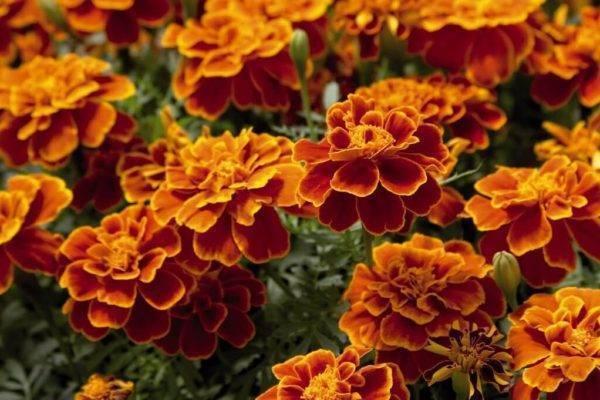 Какой цветок отпугивает моль