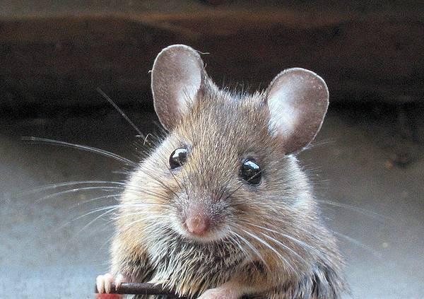 Правда, что мыши любят сыр больше всего на свете? мыши едят сыр или нет