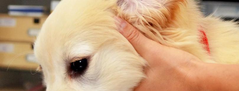 Что делать, если мухи кусают уши собаке