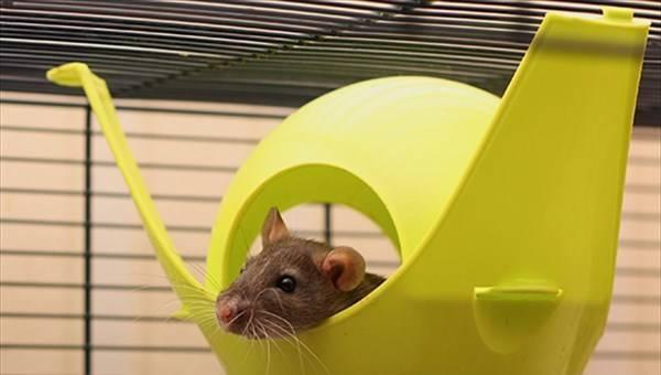 Продолжительность жизни, содержание и питание декоративных крыс