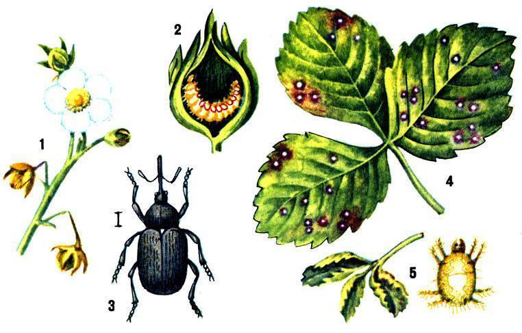 Обработка малины весной от болезней и вредителей