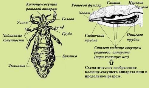Как выглядит личинка вши и каков цикл ее развития
