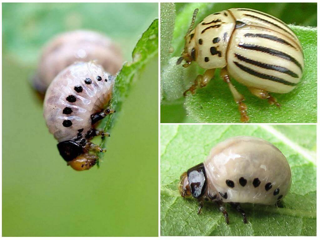 Опасный враг – личинки колорадского жука