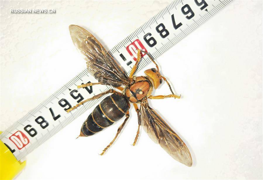 Азиатский шершень – одно из самых крупных и опасных насекомых