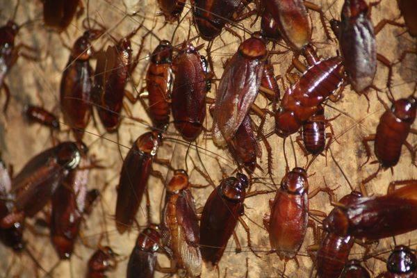 Какие тараканы кусают человека и чем лечить укусы?