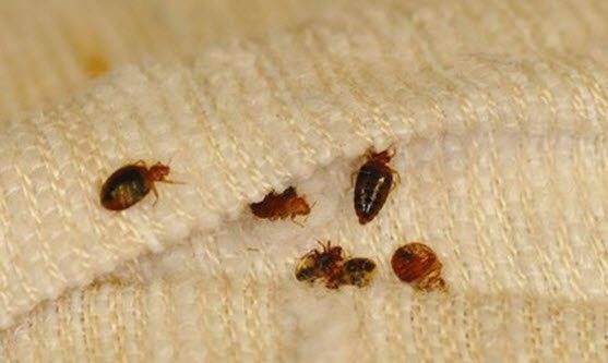 Постельный клоп, всё о насекомом: описание, фото, где водятся, откуда приходят, методы борьбы