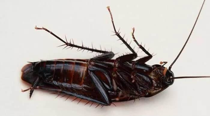 Как избавиться от черных тараканов в квартире?