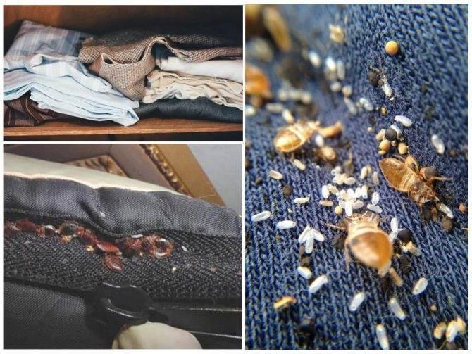 Где живут клопы— в диване, в кровати, в подушках и могут ли они жить в одежде?
