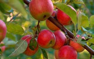 Кто съел все бутоны на деревьях? яблонный цветоед и как с ним бороться