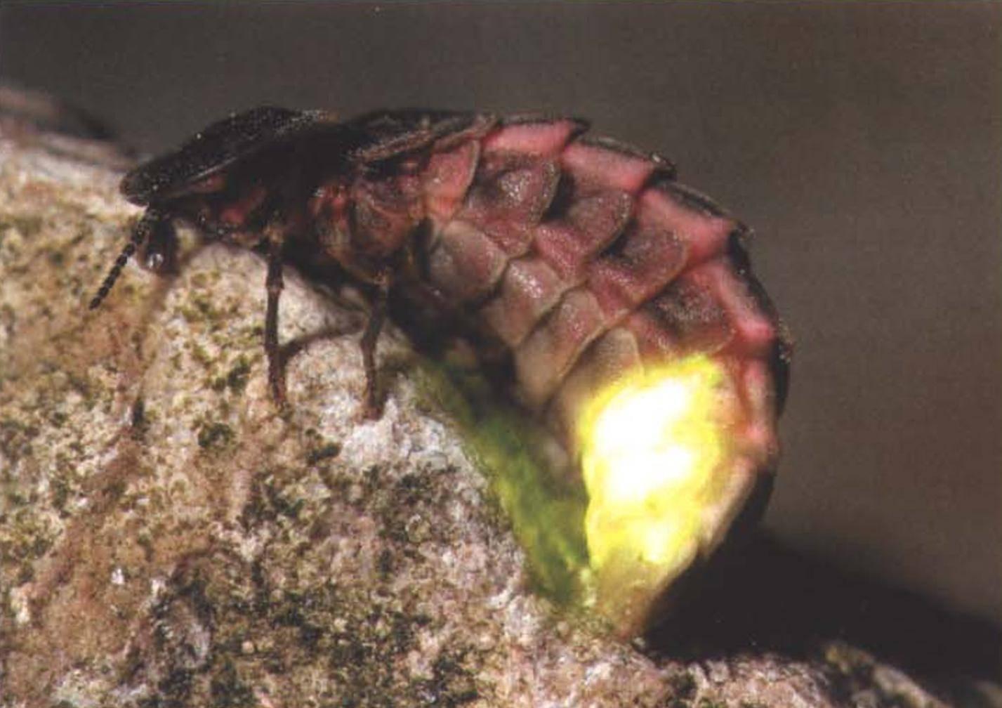 Иванов червячок: фото и особенности жизни светляка