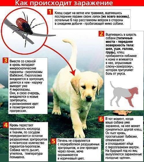 Пироплазмоз у собак – симптомы, диагностика
