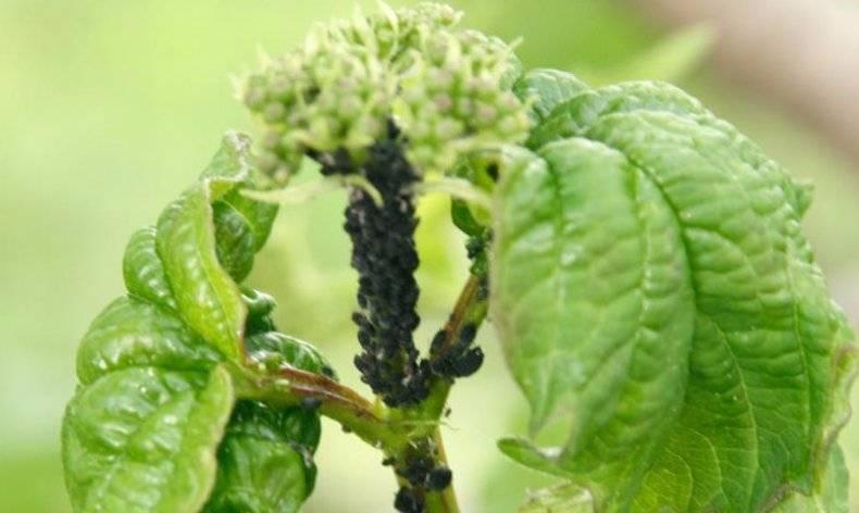 Вредители калины: советы по борьбе с болезнями и вредителями. правильный уход и выращивание калины в саду (115 фото)