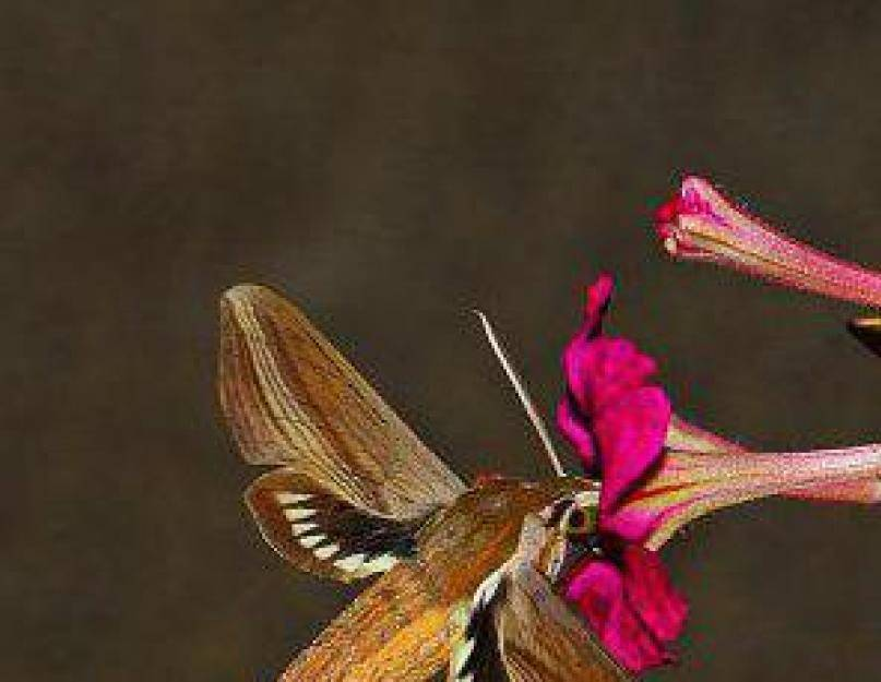 Бабочка бражник