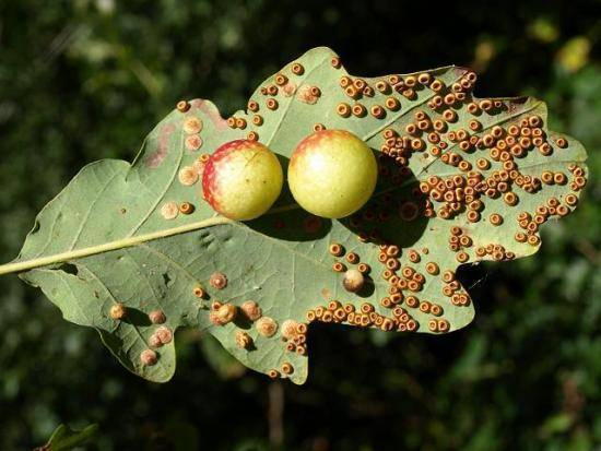 Вредители груши: описание с фотографиями – обработка груши от вредителей