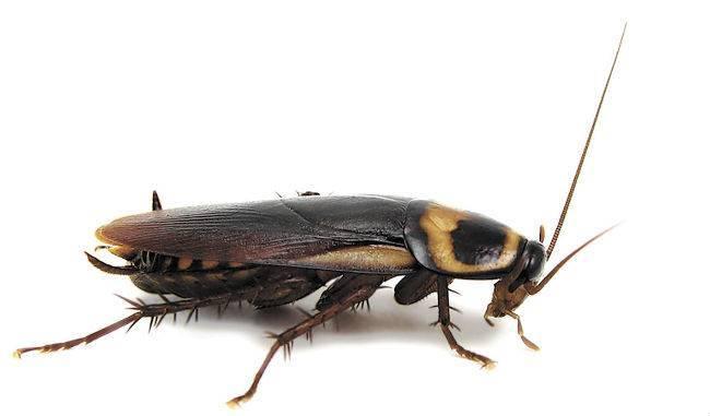 Ковровый кожеед: он как никита кожемяка, только жук