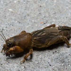 Медведка: фото и описание, как бороться с насекомым на участке