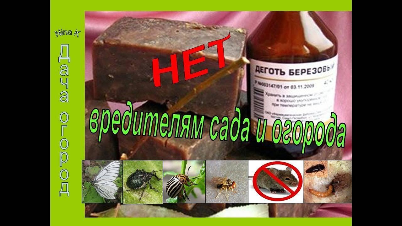 Деготь от колорадского жука: приготовление состава, правила использования