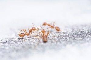 Как вытравить муравьев из квартиры — эффективные отравы