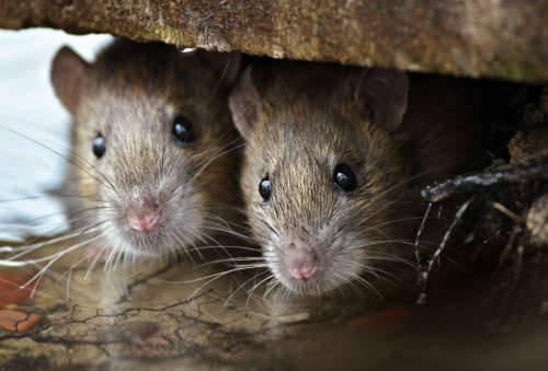 Обработка от мышей