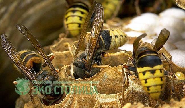 Что за гусеницы живут в осином гнезде. как устроено гнездо осы, и каким образом оно используется в медицине? бумага – идеальный строительный материал