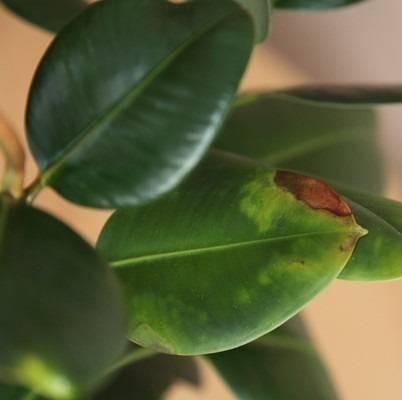 Болезни и вредители фикуса с фото: как вылечить фикус.