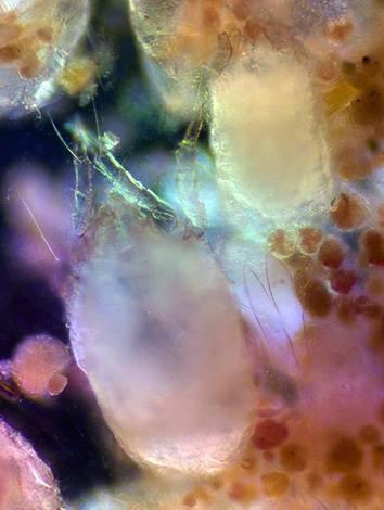 Чем опасен перьевой клещ и как с ним бороться