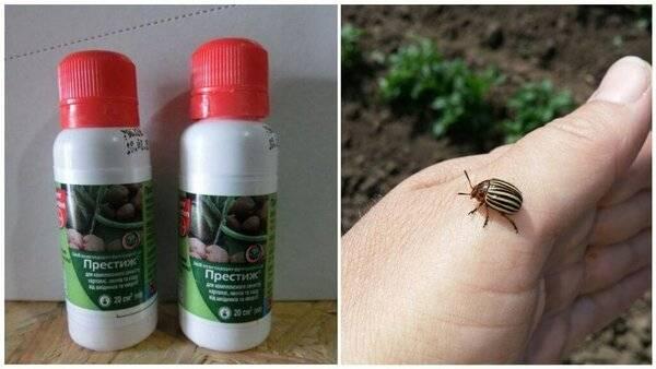 Престиж от колорадского жука инструкция по применению