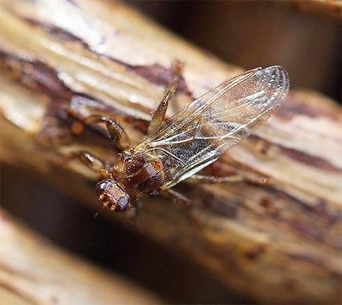 Лосиная муха: описание паразита и его опасность. что представляет собой лосиный клещ? лосиная вошь опасна для человека