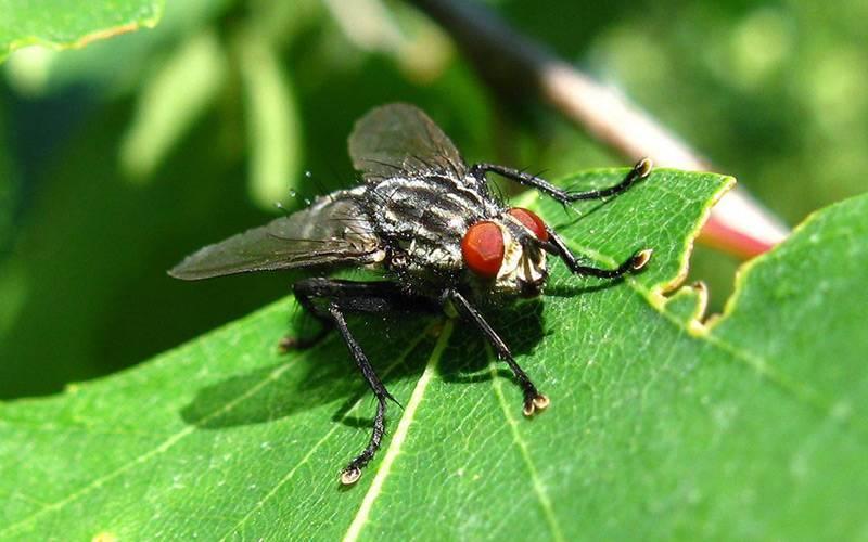 Морковная муха и борьба с ней